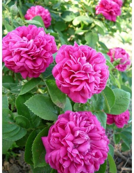 Rose de Resht historyczne róże