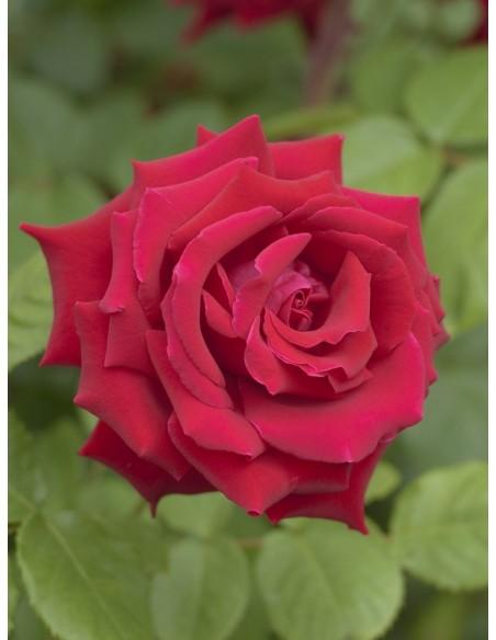Uncle Walter róze wielkokwiatowe