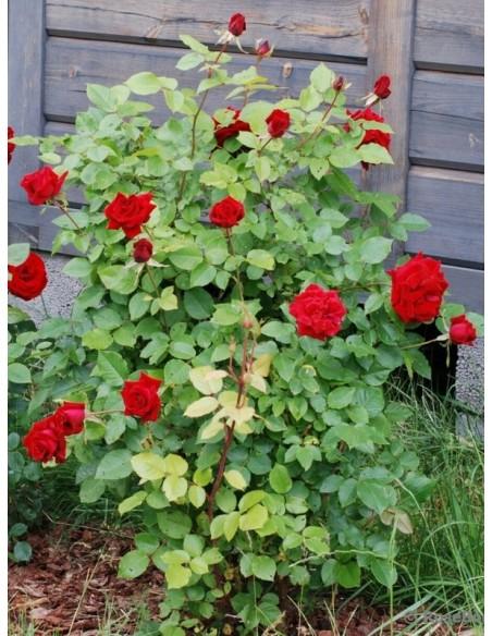 Uncle Walter wielkokwiatowe  róże