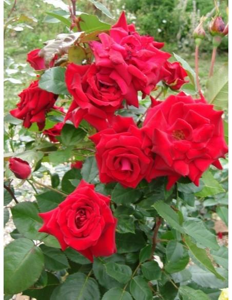 wielkokwiatowe róże Uncle Walter