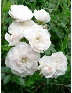 róże okrywowe swany
