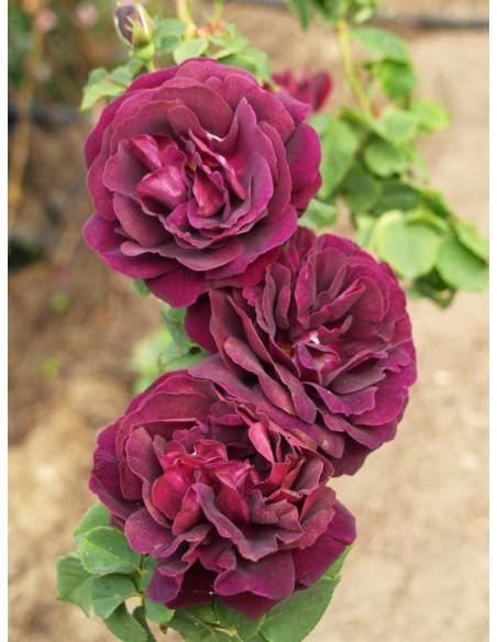 róże historyczne Souvenir du dr. Jamain