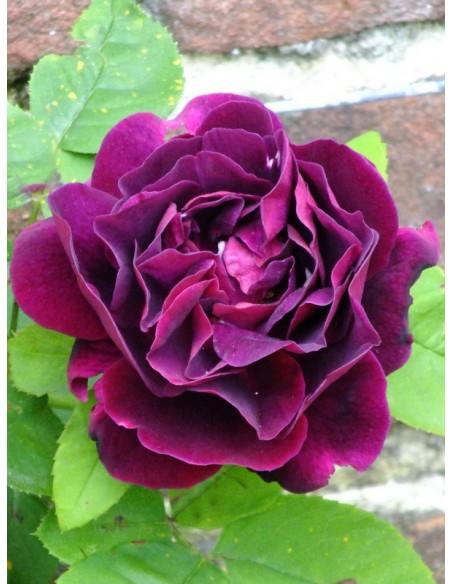 róże historyczne Souvenir du Dr Jamain