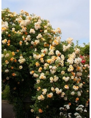 pnące róże historyczne - Ghislaine de Feligonde