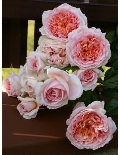 angielskie róże parkowe Candy Rain
