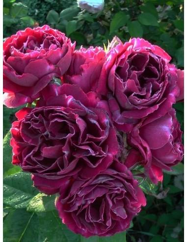 róże historyczne Baron Girod de l'Ain
