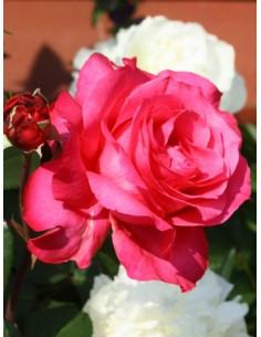 Venrosa wielkokwiatowe róże