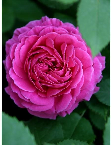 róże historyczne Mme Isaac Pereire