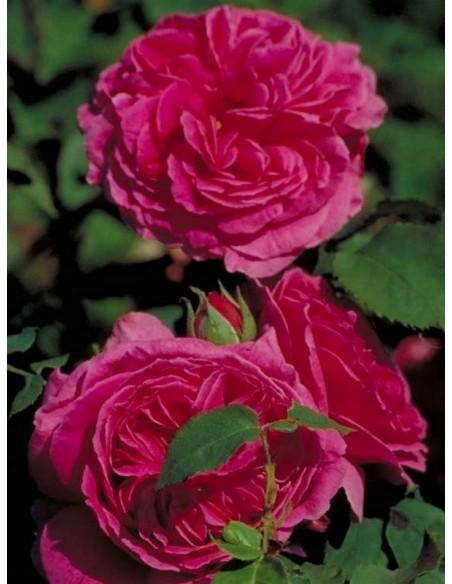 róże historyczne Madame_Isaac_Pereire