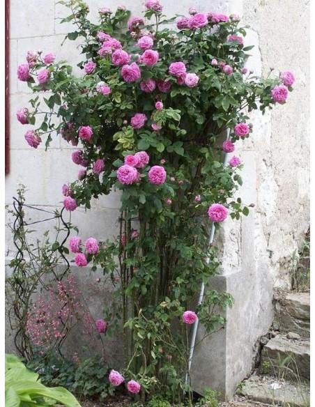 historyczne róże Madame_Isaac_Pereire
