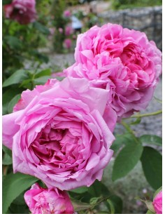róże historyczne comte de chambord