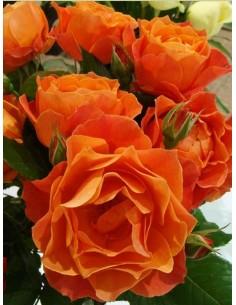 pomarańczowe roze rabatowe Fellowship