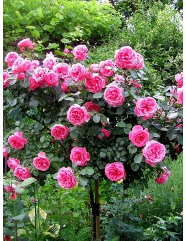 róże pienne Leonardo da Vinci