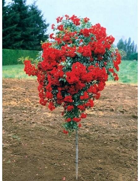 róża pienna Scarlet Meillandecor