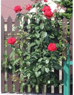 róża na pniu Bicolette