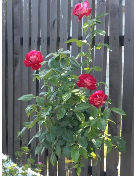 róza pienna Bicolette