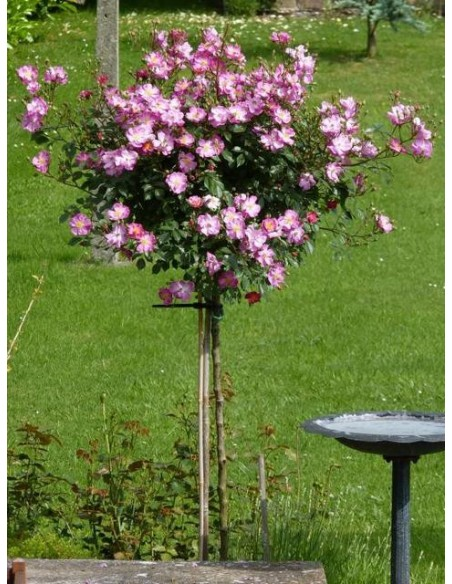 pienne róże Lavender Dream