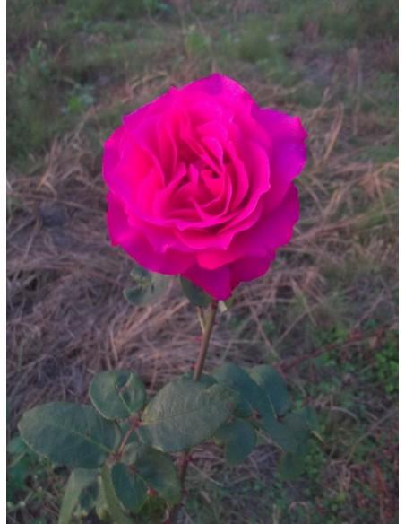 Venrosa róże wielkokwiatowe