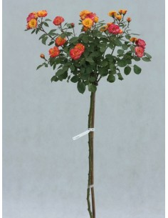 Cuba Dance róże pienne