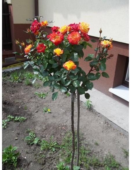 róże pienne Cuba Dance