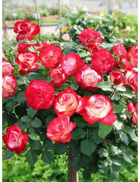 Róża pienna Monaco