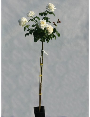 pienne róże chopin