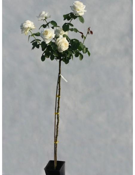 Chopin róża pienna