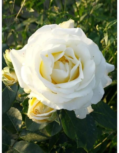 róża pienna Chopin