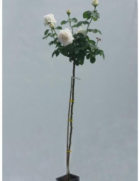chopin pienne róże