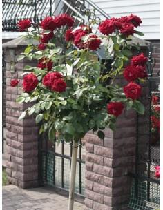 róże na pniu Ena Harkness