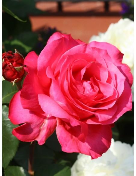 róża wielkokwiatowa Venrosa