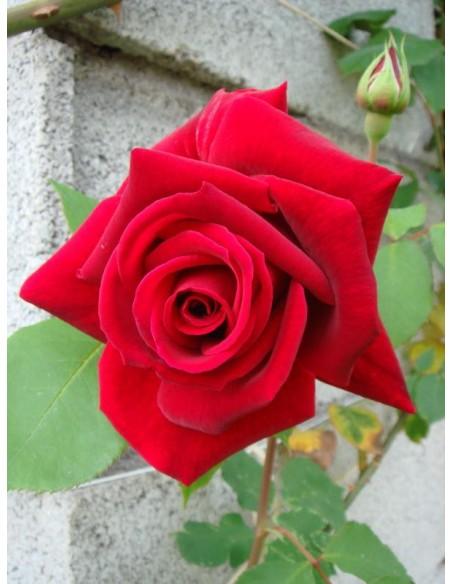 róże pienne Ena Harkness