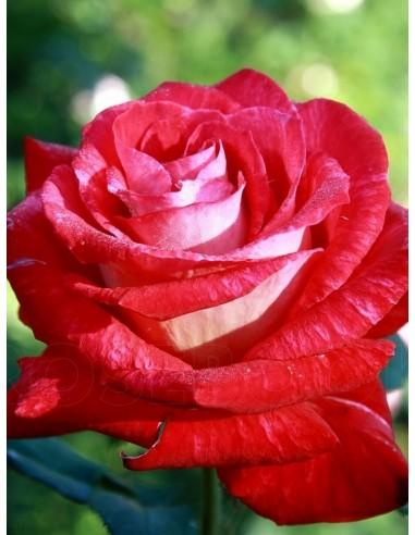 Bicolette róże wielkokwiatowe