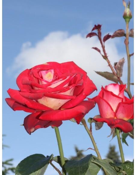 wielobarwne róże wielkokwiatowe Bicolette