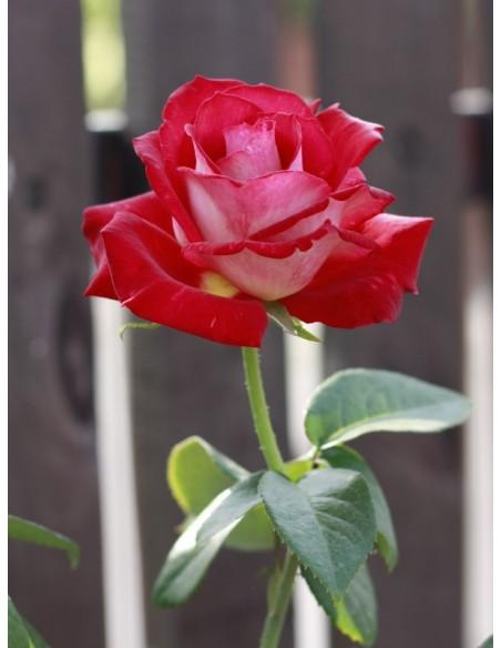 Bicolette wielkokwiatowe róże