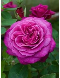 Róże rabatowe Old Port