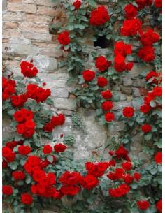 Don Juan róze pnące