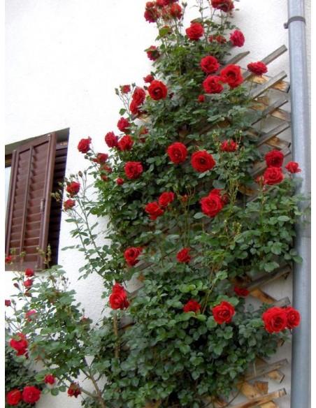 róże pnące Don Juan