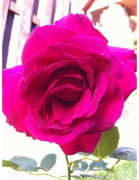 róże wielkokwiatowe Venrosa