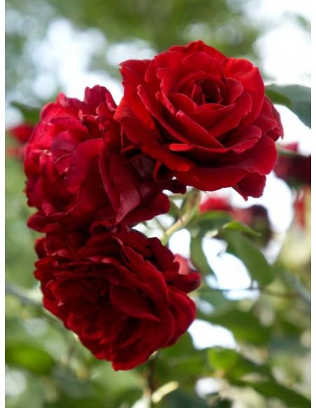 Don Juan pachnące róze pnące