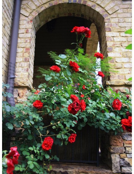 pnące róże pachnące Don Juan