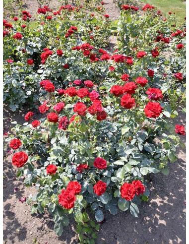 H.C. Andersen czerwone róże rabatowe