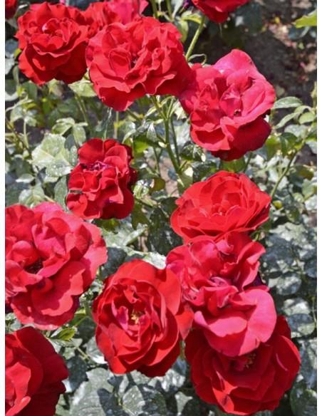 czerwone róże rabatowe H.C Andersen
