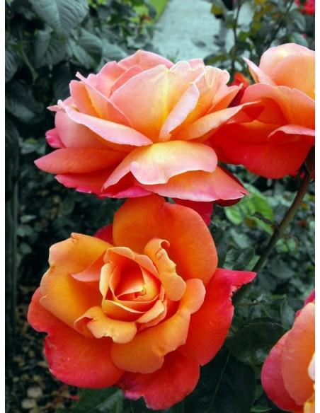wielkokwiatowe róże herbaciane Troika