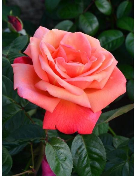troika róże wielkokwiatowe