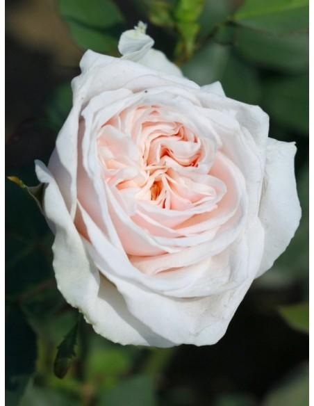 róże historyczne Souvenir de la Malmaison