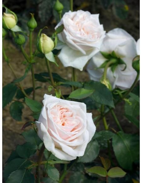 historyczne roze Souvenir de la Malmaison