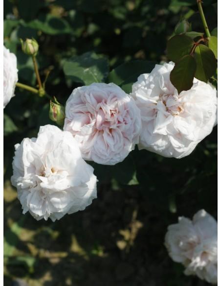 historyczne róże Souvenir de la Malmaison