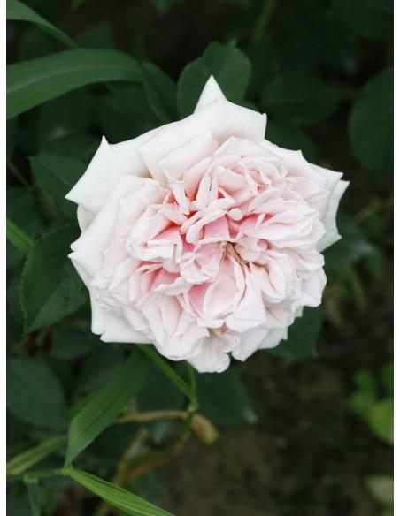 Souvenir de la Malmaison historyczne róże