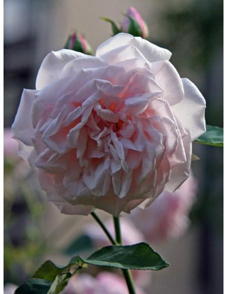 Souvenir de la Malmaison róże historyczne